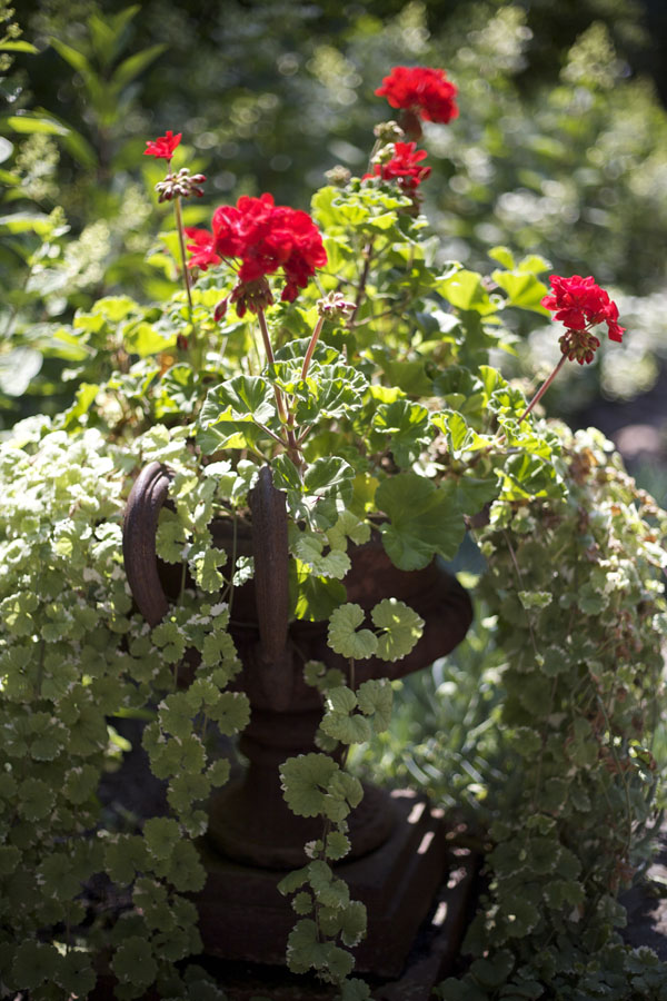 Red Geraniums placed in urns alongside the Oak Leaf Hydrangeas added a nice contrast to the garden.