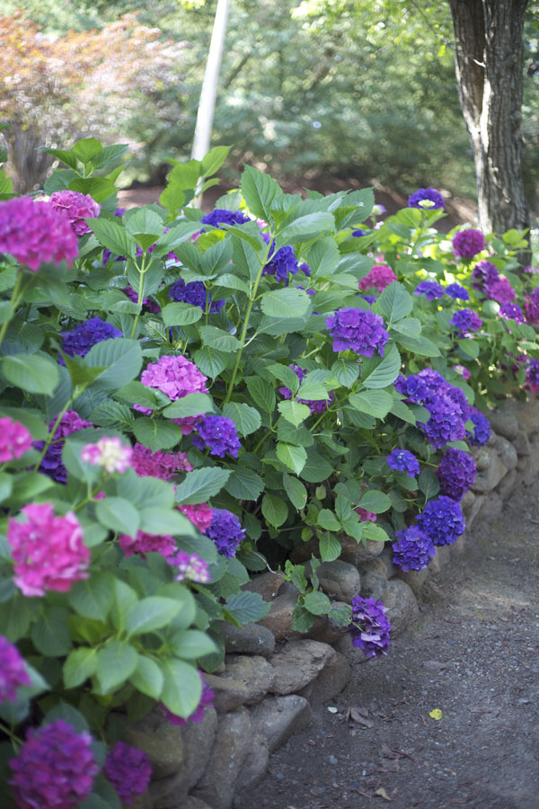 purple and pink hydrangeas