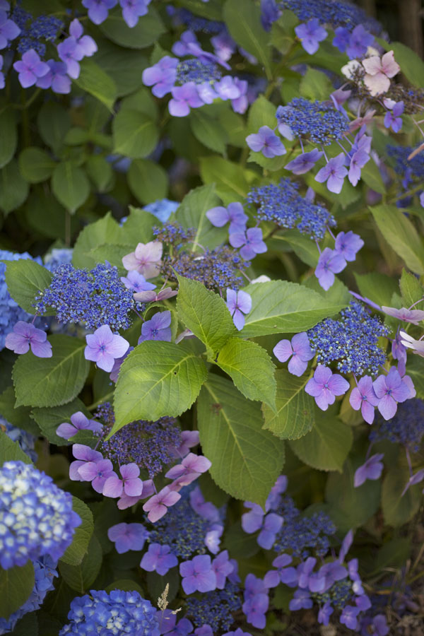 Sebastopol California Hydrangea Grower