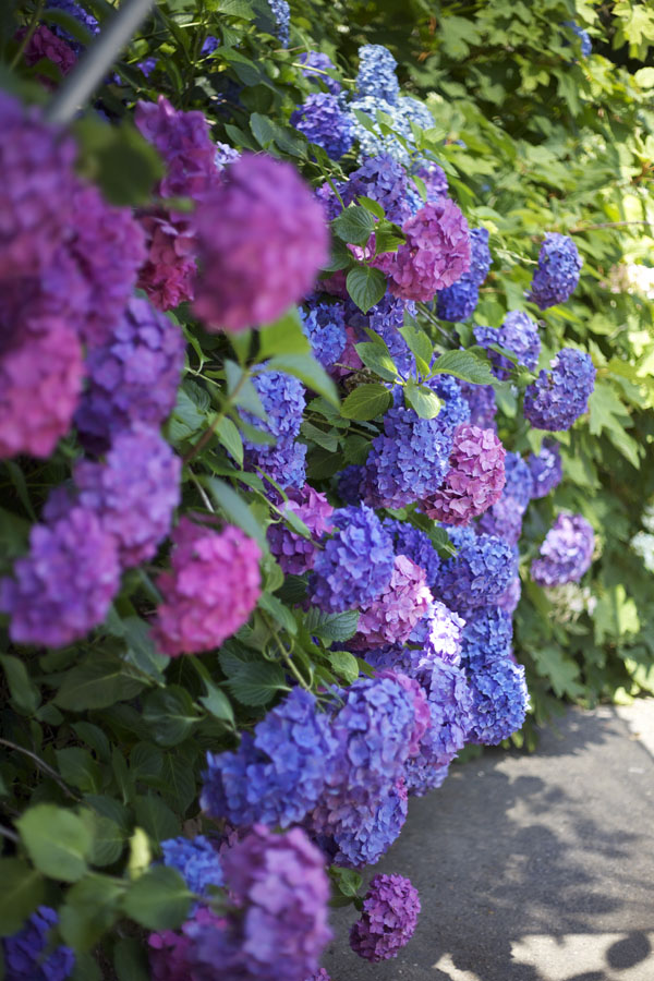 pink and blue hydrangeas