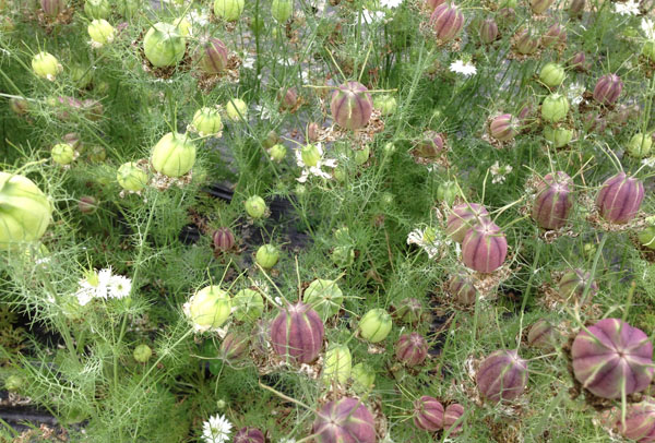 Nigella Pods, Love In The Mist