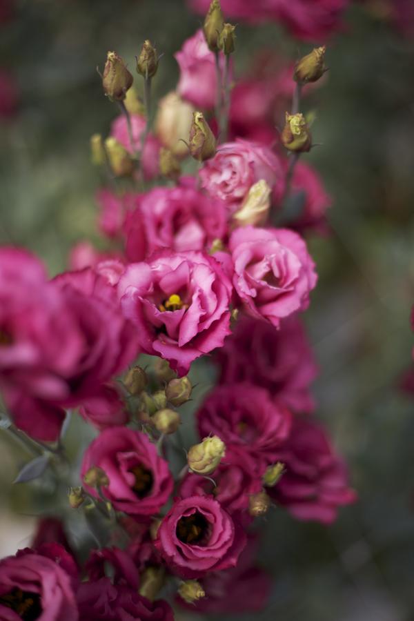 pink lisianthus