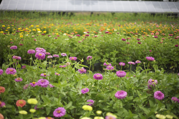 rows of zinnias at a flower farm