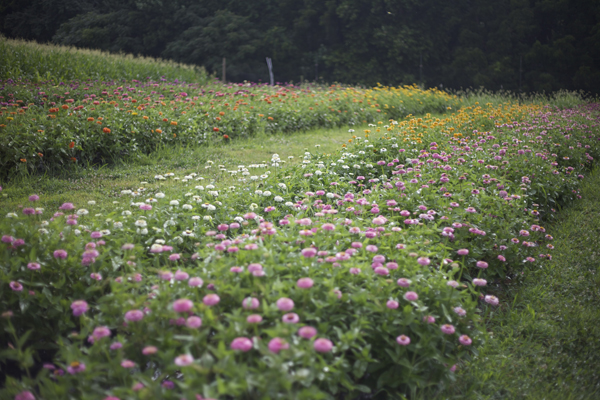 rows of zinnias