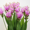 Flower Focus :: Curcuma