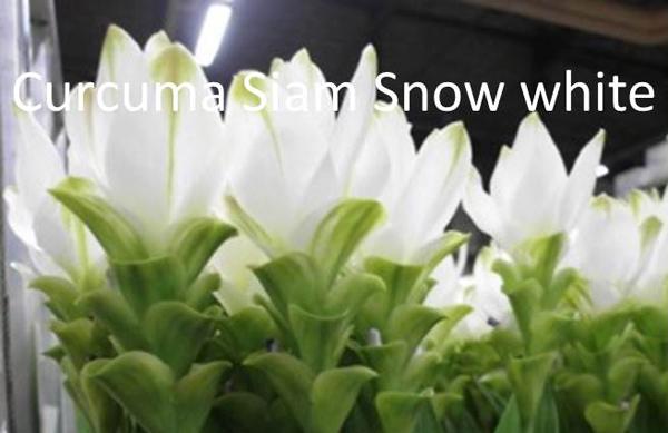 Curcuma Siam Snow White