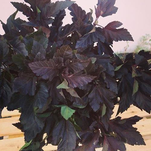 burgundy foliage