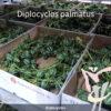 Diplocyclos palmatus