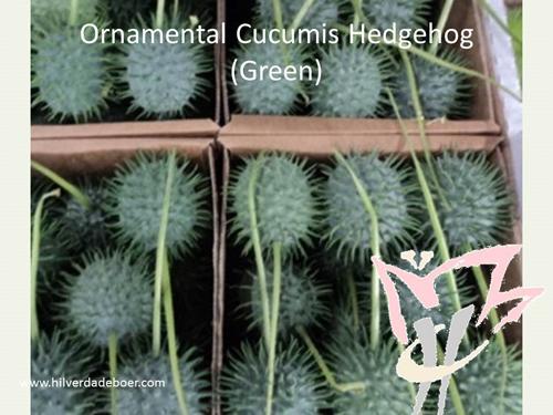 Ornamental Cucumis Hedgehog