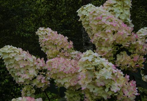 limelight hydrangeas