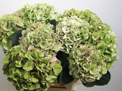 Antique Green Hydrangea