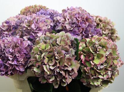 Antique Lilac Hydrangea