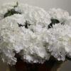 Coco White Hydrangea