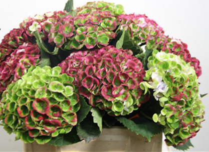 antique red green hydrangea