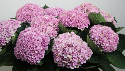 light pink hydrangea