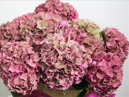 pink green hydrangea