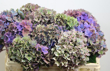 antique purple hydrangea