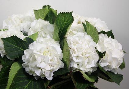 Hydrangea Schneeball white