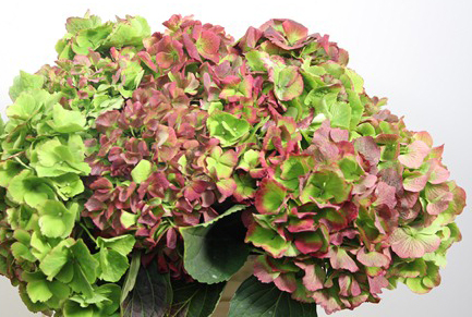green and red hydrangea