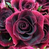 dark red burgundy rose
