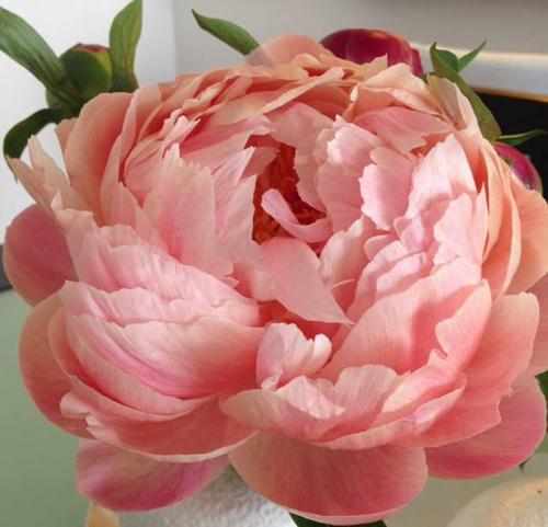 blushy pink peony