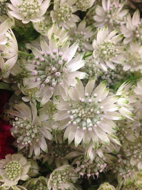 white astrantia flower