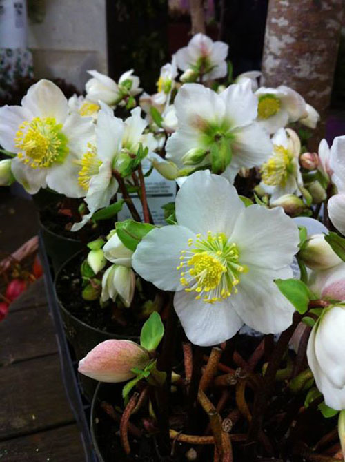 white hellebores plants