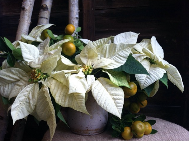 white poinsettia centerpiece