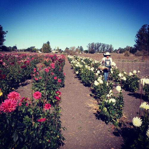 Aztec Dahlias Petaluma California