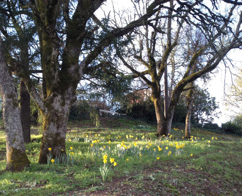 field of daffodils and trees