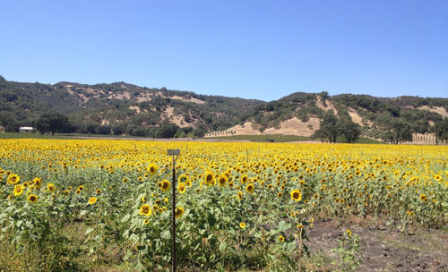 8/12 - Field of Sunflowers - Hopland, California