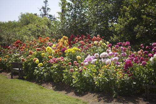 Dahlia Gardens