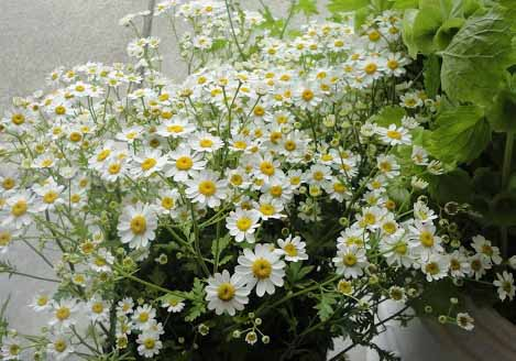 feverfew by Triple Wren Farms