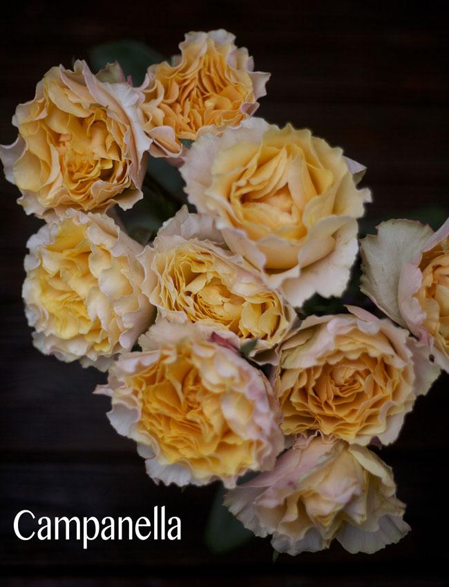 Nevado Roses, Campanella Peach Garden Rose