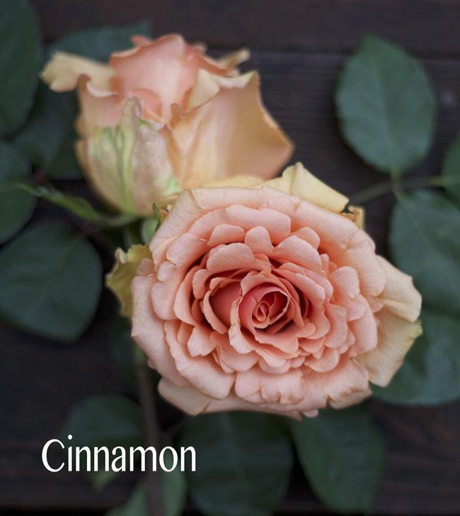 Sisapamba Roses, Cinnamon Peach Rose