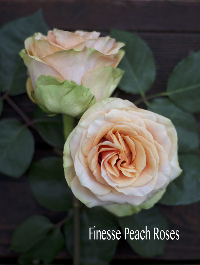 Rosaprima Peach Finesse Rose