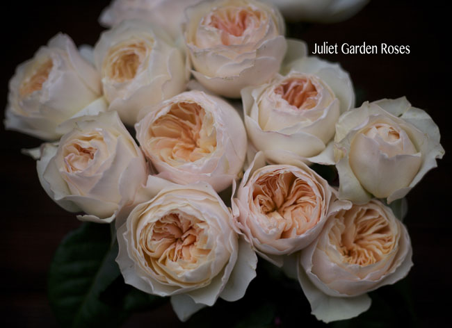 Attractive ... Light Peach Garden Rose   Juliet   Garden Roses   Roses | Flower Muse  ...