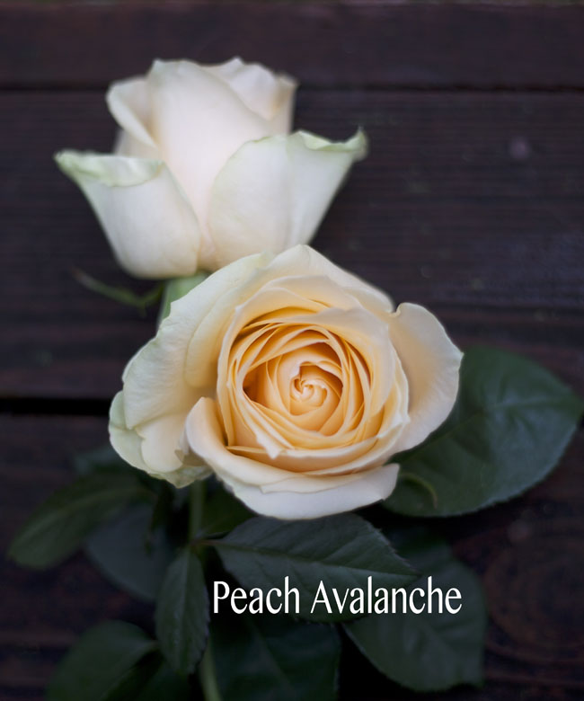 Eufloria Peach Avalanche