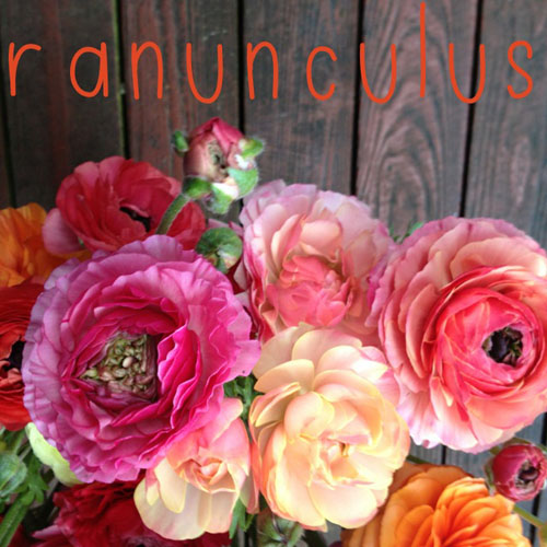Pink and Peach Ranunculus