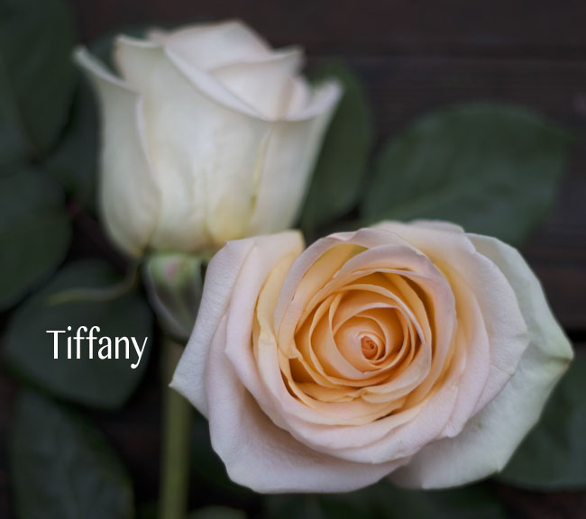 Royal Roses, Tiffany Peach Roses