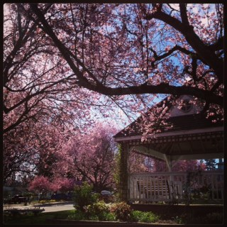 Pink Flower Trees and a Gazebo