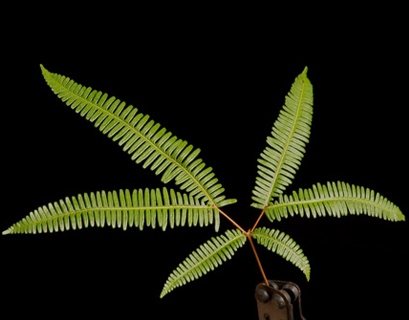 Broadleaf Umbrella fern