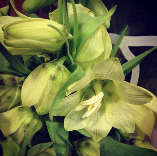 Dutch Flower Line - green Fritillaria