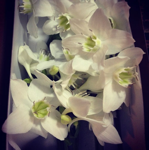 Dutch Flower Line - Eucharis Lily