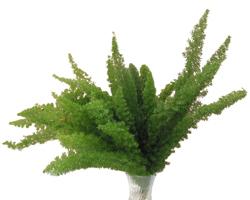 Foxtail Fern - Asparagus Meyer