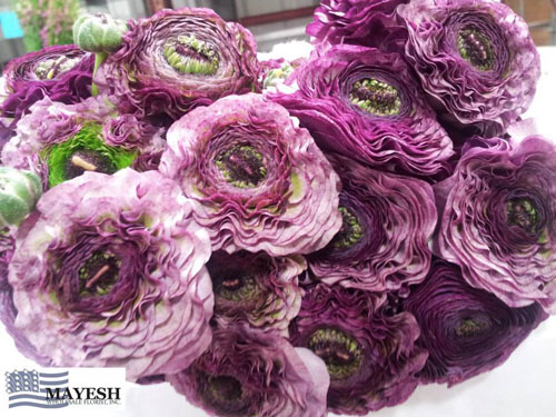 Mayesh Wholesale Dutch Pom Pom Ranunculus