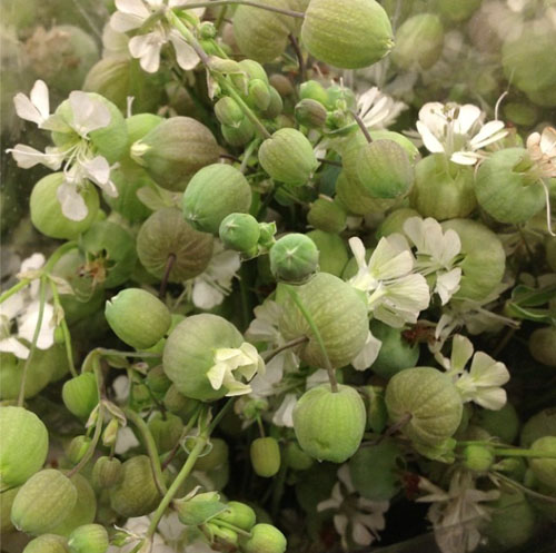 San Francisco's Torchio Wholesale Flowers - Flower is called Silene
