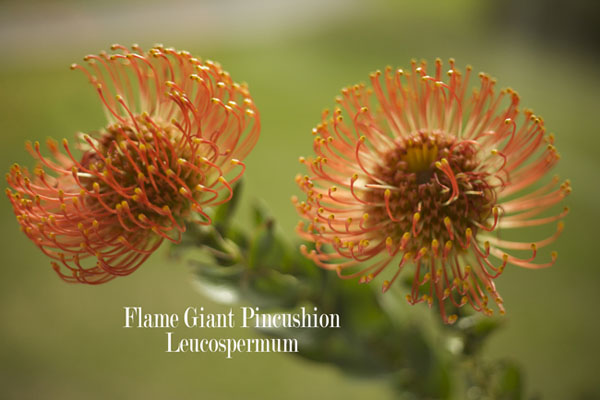 Flame Giant Pincushion Leucospermum by Resendiz Brothers