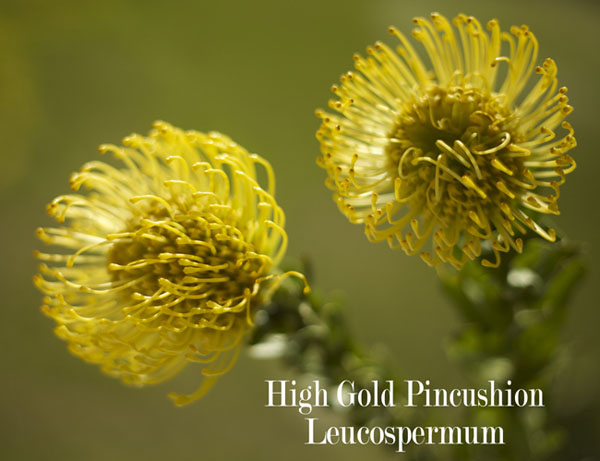High Gold Pincushion Leucospermum Resendiz Brothers