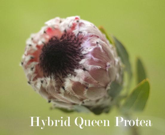 Resendiz Brothers - Hybrid Queen Protea